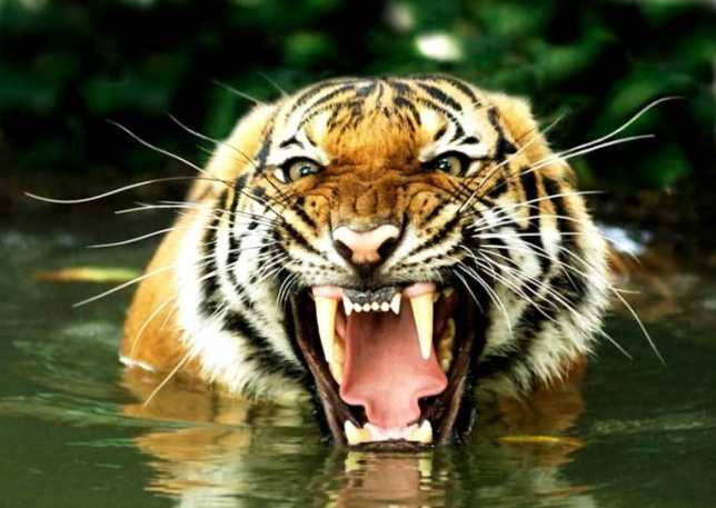 RAWR! I'm a tiger!