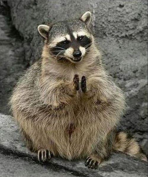 burns-raccoon
