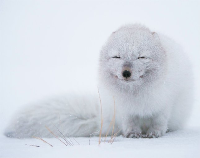 And to end off this topic, here's a picture of a smiling Arctic Fox.