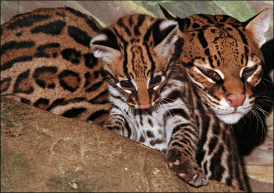 Ocelots are basically really adorable cats with beautiful patterns,  Except they're wild.