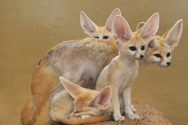 Fennec Foxes are desert dwelling animals that use their large ears to hunt prey like insects and lizards and alert them of dangers.  Their ears also help keep them cool on hot days.