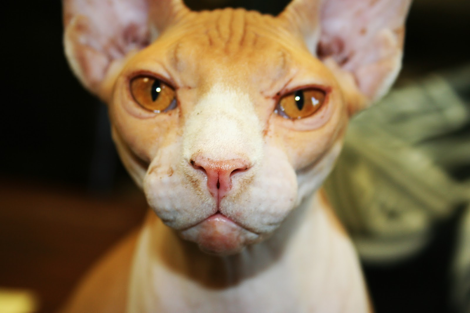Hairless Cat For Sale Indiana