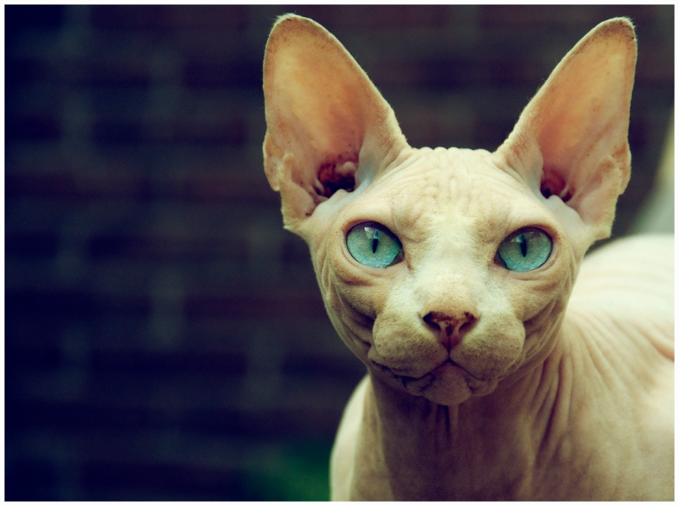sphynx-cat-images-11