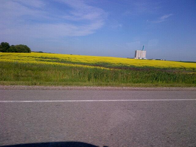 A canola field just outside of Young, SK on the way to Humboldt.