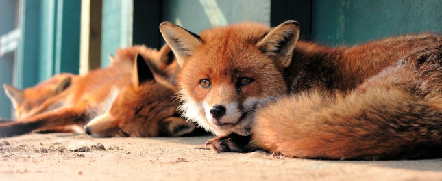 Captive_red_foxes