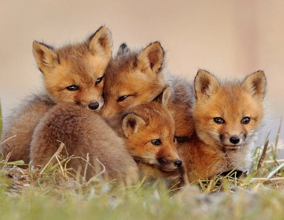 l-A-family-of-foxes
