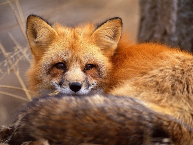 Red-Fox-red-foxes-13289838-1600-1200
