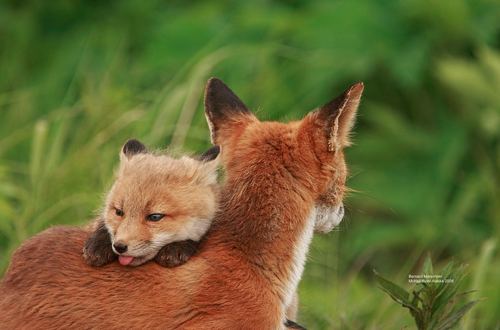 Red-foxes-fox-28337570-500-330