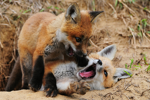Red-foxes-fox-28337613-500-333