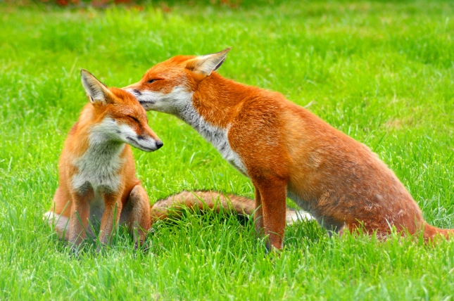 Red_Fox_(Vulpes_vulpes)_-British_Wildlife_Centre-8